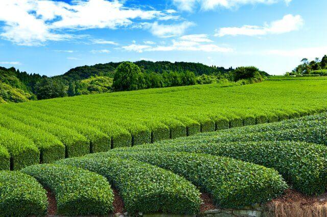 お茶の銘柄と産地の関係