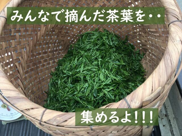 いざ!茶摘み体験!