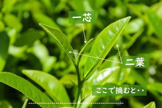 お茶摘みの方法や注意事項を確認!